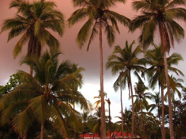 Palm_trees_2
