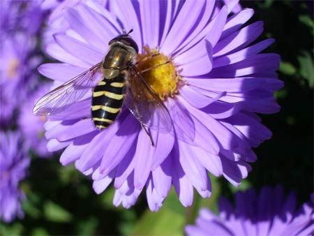 Bee_purple