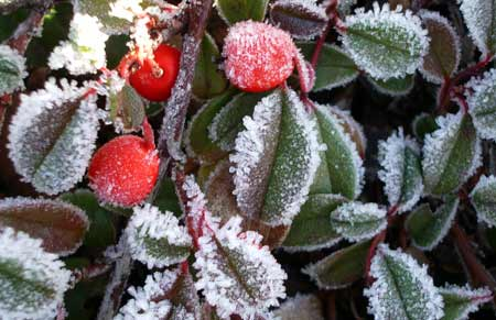 Frostedberries1