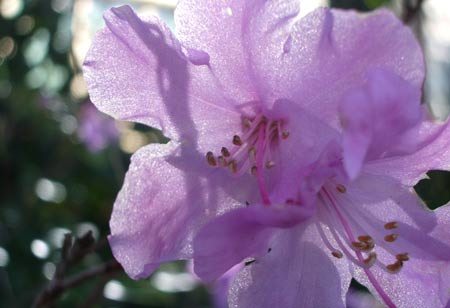 Purple_rhodo1