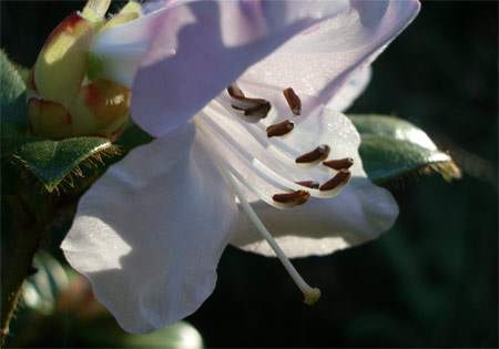Rhodo_backlit2