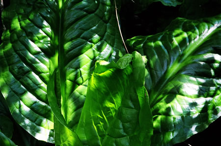 Skunk_cabbage2